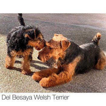del-besaya-welsh